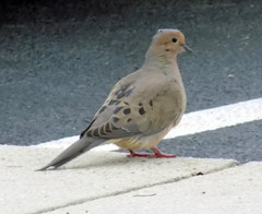 Mourning Dove On The Edge Of The Sidewalk. (dccradio) Tags: lumberton nc northcarolina robesoncounty outdoor outside outdoors nature natural wildlife animal bird birds dove doves mourningdove mourningdoves sidewalk concrete cement april spring springtime friday fridaynight fridayevening evening goodevening nikon coolpix l340 bridgecamera pavement paved curb