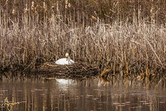Walkabout_20190413-131503 (G-Mans Shadow) Tags: attleboro ma massachusetts como lake swan nesting eggs duck canadian geese marsh water tall grass mother father canon 77d ef70200 f4l