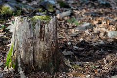 Tree Stump (Someone's Name) Tags: nature treestump decay moss sunlight forest wood leaves hiking green texture