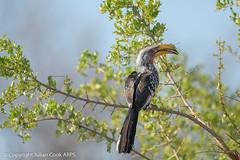 Yellow-billed hornbill (Tockus leucomelas) (Julian Cook Photography) Tags: africa bird birds etoshanationalpark hornbill namibia southernyellowbilledhornbill tockusleucomelas
