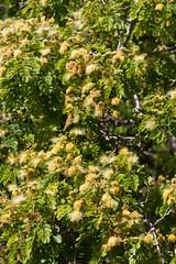 IMG_8439 (jaglazier) Tags: 121318 2018 chile december deciduoustrees easterisland ranokau trees copyright2018jamesaglazier floweringtrees mimosa valparaisoregion