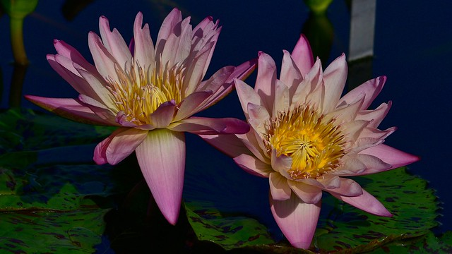 Обои листья, темный фон, лилии, две, лепестки, розовые, бутоны, водяные лилии, водоем, нимфеи картинки на рабочий стол, раздел цветы - скачать