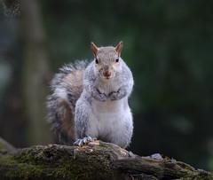Grigio (Eros Penatti) Tags: scoiattologrigio sciurus carolinensis monza parcodimonza lombardia italia