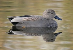 Gadwall (PhotoLoonie) Tags: duck waterbird waterreflection reflection bird gadwall wildlife nature attenboroughnaturereserve