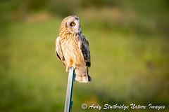 Short Eared Owl on Fence Post (www.andystuthridgenatureimages.co.uk) Tags: owl short earned perch fence post field moor somersetlevels uk hunter raptor daytime daylight winter sun sunshine