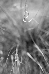 Twisting in the Wind (belleshaw) Tags: blackandwhite oakglen nature grass blades plant curl wind breeze deergrass winter bare dried detail texture abstract