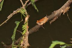 Polypedates maculatus (Fernando_Iglesias) Tags: sri lanka srilanka ceylon frogs amphibians pseudophilautus fejervarja duttaphrynus toads polypedates