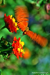 Como las mariposas... (Aprehendiz-Ana Lía) Tags: mariposa borboleta flickr nikon argentina mdq luz digital jardín macro alas libres efímeras instante color movimiento verano bokeh pillangó farfalla papillon naturaleza nature