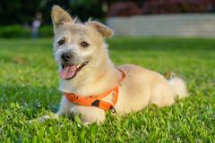 DSC03059 (米漿 專賣店) Tags: a7r3 fe85 dog 狗
