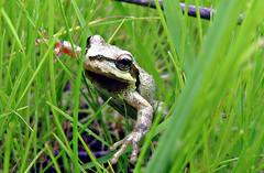 Parting the curtain (TJ Gehling) Tags: amphibian frog chorusfrog treefrog pacificchorusfrog pacifictreefrog pseudacis pseudacrisregilla pointmolate pointmolatebeachpark wetland richmondca