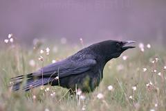 MKIII_2016_05_07_3856JPG Flickr (nomaRags) Tags: cremenes cuervo pajaro bird landscape spain españa corvo carnazal corvus corax common raven