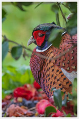 Pheasant - male (Phasianus colchicus) 'L' for large. (hunt.keith27) Tags: phasianuscolchicus commonpheasant pheasant camelia canon eos7dmk2 600mm garden beautiful colourful male