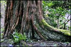 Woodland (* RICHARD M (Over 8.5 MILLION VIEWS)) Tags: nature woodland tree roots treetrunk flowers flora plants vegetation moss heskethpark parks publicparks municipleparks parkland southport sefton merseyside spring springtime march wildflowers gnarled wood damp