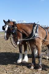 Ploughing (Katie~B) Tags: ploughing farming farm spring horses carthorses horsebrasses soil earth