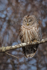 Hoo doesn't love an Owl? (rob.wallace) Tags: spring2019shenandoahnationalparkbarredowlraptor barred owl perched raptor