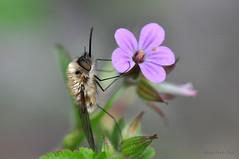 Bombylius sp. (ajmtster) Tags: insecto invertebrados macrofotografía macro mosca dipteros bombylius bombyliusmajor amt