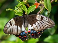 Orchard Swallowtail (Papilio aegeus) (David Cook Wildlife Photography) Tags: orchardswallowtail papilioaegeus papilioaegeusaegeus lepidoptera papilionidae wamboin nsw australia davidcookwildlifephotography kookr sonya9 sonyilce9 sonysel100400gm sony2xtc sel20tc ©2019davidcookwildlifephotographyallrightsreserved