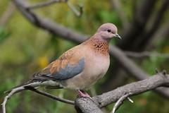 laughing dove (Spilopelia senegalensis) (johnedmond) Tags: perth westernaustralia laughing dove bird wildlife pigeon nature canon eos7d ef100400mmf4556lisiiusm