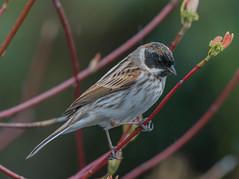 Reed Bunting (ukmjk) Tags: reed bunting staffordshire wildlife trust wolseley bridge nikon nikkor d500 200500 vr bird