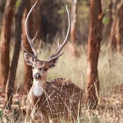 Showing off his antlers (Nagarjun) Tags: spotteddeer chital animal wildlife bandhavgarhtigerreserve nationalpark morning antlers stag safari madhyapradesh centralindia