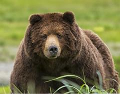 Male Grizzly Bear (mtetcher) Tags: bears grizzly admiraltyisland nikon alaska sigmalens nikond4s