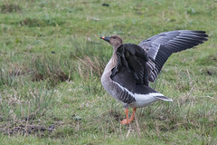 Tundra Bean Goose (Tim Melling) Tags: anser serrirostris rossicus tundra bean goose st aidans aire valley west yorkshire timmelling