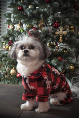 Merry Christmas - Lola's Christmas 2018 (DJ Wolfman) Tags: christmas december tree ornament dog sweater coat white black puppy lola maltese shihtzu red