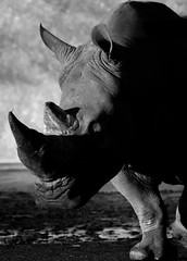 B&W Rhino (wigangiddy) Tags: bw mammal animal rhino rhinoceros