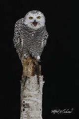 Snowy Owl Portrait_T3W2917 (Alfred J. Lockwood Photography) Tags: alfredjlockwood nature bird snowyowl portrait juvenile crc canadianraptorconservancy birchtree ontario canada autumn morning stump