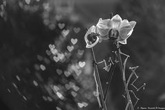 Une déclaration (Elyane11) Tags: netb fleur coeur bokeh