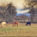 Latino Lamas weiden auf Wetterau Wiesen! Lamas graze on meadows.