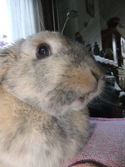 """""""Dandelion leaf? """"What dandelion leaf?"""" (eveliensbunnypics) Tags: bunny rabbit lop lopeared polly indoor inside house face closeup mouf mouth juni"""