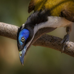excellent eye makeup!  alice river - blue-faced honeyeater (Fat Burns ☮) Tags: bluefacedhoneyeater entomyzoncyanotis bird australianbird fauna australianfauna nikond500 nikon200500mmf56eedvr aliceriver barcaldine queensland australia honeyeater nature outdoors