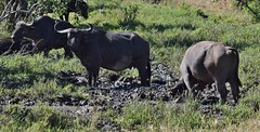 African Buffalo (Everyday Glory!!!) Tags: masaimara africa kenya safari gamedrive mara wildlife wild maasaimara maasai africanbuffalo buffalo capebuffalo