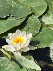 nenuphar-blanc© (alexandrarougeron) Tags: photo alexandra rougeron flickr fleurs nature plante végétal végétale ville beauté couleur frais