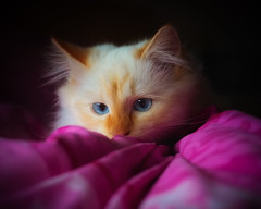 A day to stay in bed ! (FocusPocus Photography) Tags: tofu dragon katze kater cat chat gato tier animal haustier pet bett bed
