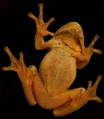 An der Terrassentür (IIIfbIII) Tags: froggy frog laubfrosch frosch animal naturephotography natur nature naturfotografie canon amphibien black green grün nacht