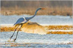 Airone bianco (Fausto Deseri) Tags: greategret casmerodiusalba aironebiancomaggiore wildlife nature birds wildanimals nikkor300mmf28afsii nikontc17eii faustodeseri