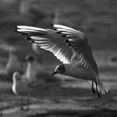 _IMG9676 aff- on1 (douglasjarvis995) Tags: gull hover bird pentax k1 animal natyure bnw mono monochrome