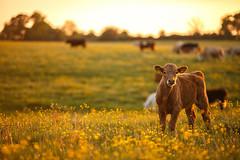 MårtenSvensson_116_3U4A9898 (Bad-Duck) Tags: jordbruk mat bete betesmark ko kor kväll köttdjur köttras sommar