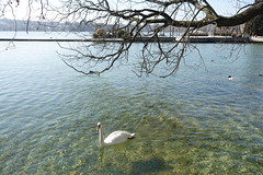 Swan @ Lake Annecy @ Parc Charles Bosson @ Annecy (*_*) Tags: 2019 winter hiver february sunny europe france hautesavoie 74 savoie annecy lacdannecy lakeannecy parccharlesbosson lac lake swan cygne animal bird park