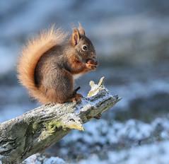 Little Red (waynehavenhand1) Tags: mammal animal snow log wildlife nature cairngorms highlands scotland redsquirrel red squirrel sciurusvulgaris
