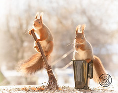 Red squirrel is standing on a garbage can another holding a broom (Geert Weggen) Tags: squirrel red animal backgrounds bright cheerful close color concepts conservation culinary cute damage day earth environment environmental equipment love winter snow photo acorn nut food tree homeless roofless houseless garbagecan garbage broom dance openmouth bispgården jämtland sweden geert weggen hardeko ragunda