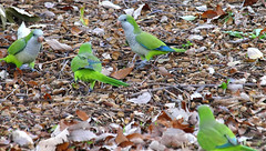 One Minute it Was Calm & Peaceful... (Kaptured by Kala) Tags: quakerparrot monkparakeet parrot greenandbluebird myiopsittamonachus wildparakeet whiterocklake dallastexas liveoak acorns closeup nearwinsteadparkinglot fight squabble bicker aggressive flurry colorful eating feeding sociable