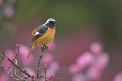 梅園のジョウビタキ (myu-myu) Tags: nature bird wildbird phoenicurusauroreus daurianredstart nikon 野鳥 ジョウビタキ ウメ japan