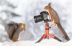 Red squirrels with a camera and a bouquet of flowers (Geert Weggen) Tags: squirrel camera red animal backgrounds bright cheerful close color concepts conservation culinary cute damage day earth environment environmental equipment love valentine flower winter snow photo bouquet model bispgården jämtland sweden geert weggen hardeko ragunda