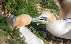 Courting Gannets (Steve (Hooky) Waddingham) Tags: stevenwaddinghamphotography animal coast bird british sea spring flight fish planet wild wildlife