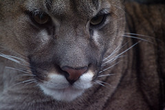 Puma (nathalie beauchamp) Tags: puma pelage poil yeux regards eyes nose nez zooparc zoo zooparcdebeauval nikon animaux animals animal félin