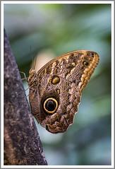 2019.01.14-DSC01698 (Ralf HB) Tags: 2019 botanika bremen insekten schmetterling tiere