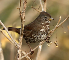 Fox Sparrow (gainesp2003) Tags: fox sparrow point reyes california ca bird birding wildlife